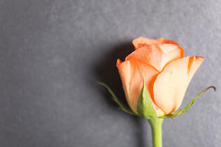 Detail of a orange rose flower on black slate with copy space